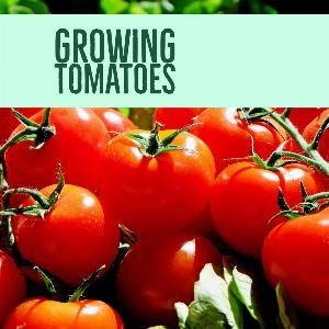 Let's talk for a minute about growing tomatoes. . .