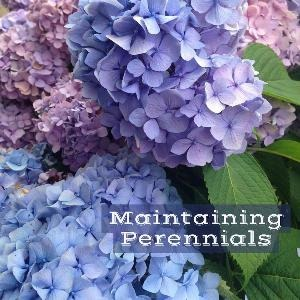 Let's talk for a minute about maintaining perennials. . .