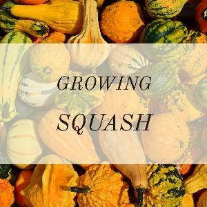 Let's talk for a minute about growing squash. . .