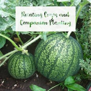 Let's talk for a minute about rotating crops and companion planting. . .