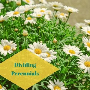 Let's talk for a minute about dividing perennials. .